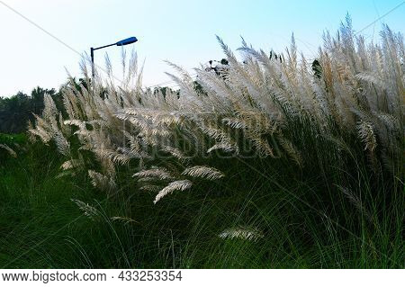 Kaash Ful Or Kans Grass Oscillating In Breeze, Saccharum Spontaneum, Blue Sky And White Clouds Of Au
