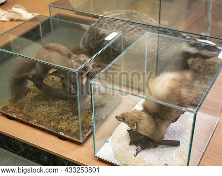 Stuffed Fur-bearing Animals In Glass Cases. Zoological Display. Martens And Badger In The Taxidermy