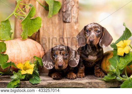 Dogs dachshunds puppy autumn decor from pumpkins