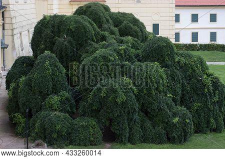 The Japanese Pagoda Tree Styphnolobium Japonicum, Chinese Scholar Tree, Pagoda Tree, Sophora Japonic