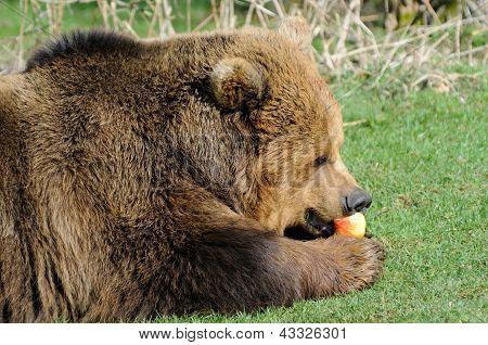 Brown Bear Feeding On Apple