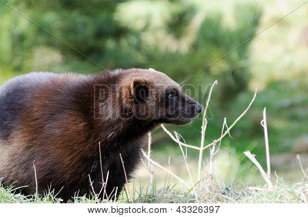 Wolverine Closeup