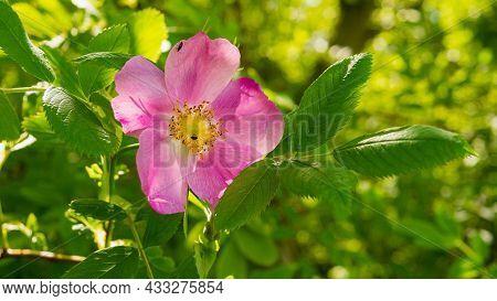 Blooming Rosehip Berry. Blooming Rosehip Flower, Beautiful Pink Flower On A Bush Branch.