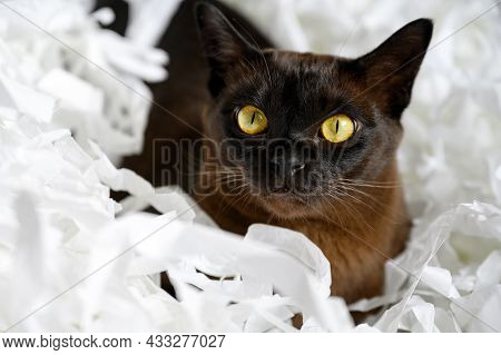 Burma Cat Lying In Pile Of Cut Paper, Cute Brown Burmese Cat Plays With White Strips Confetti. Playf