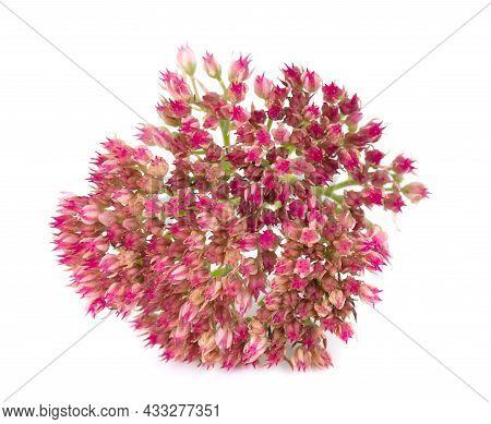 Sedum Flowers Isolated On White Background. Hylotelephium Spectabile Or Showy Stonecrop.