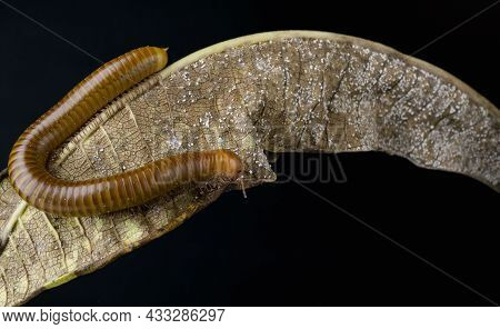 Millipede Asia On Decomposing Mango Leaf Showing Its Numerus Legs And Segmented Body
