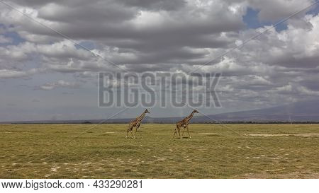 Two Graceful Giraffes Are Walking On The Endless African Savanna Covered With Yellowed Grass. Pictur