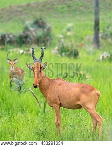 Hartebeest (alcelaphus Lelwel), Murchison Falls National Park, Uganda