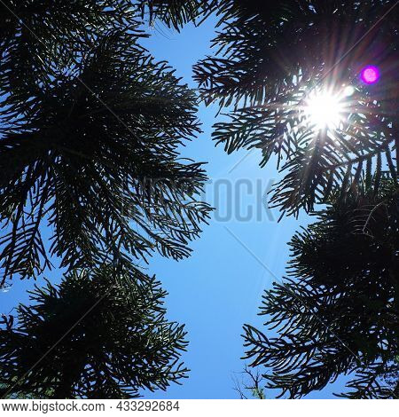 Low angle view of araucaria araucana trees, Sun shining through canopy of tall monkey puzzle trees in Villarrica national park, Patagonia, Chile