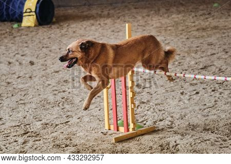 Beautiful Red Haired Mongrel Runs Fast And Jumps High Over Barrier At Agility Competitions. Large Do