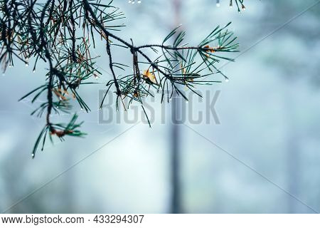 Pine Branch Focused In A Pine Forest In The Fog
