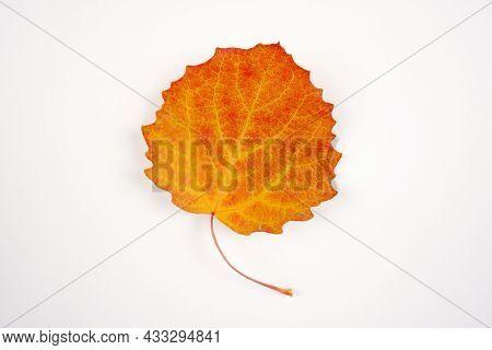 Autumn Orange-yellow Aspen Leaf Isolated On A White Background. Botany, Herbarium