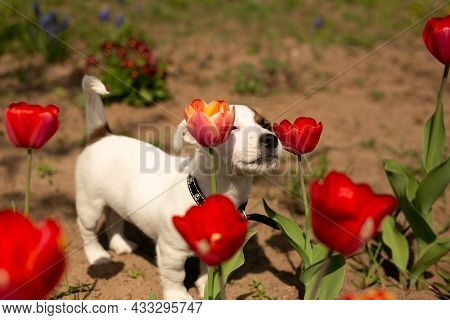 A Jack Russell Terrier Puppy Sniffs Growing Red Tulips. Spring, The Bright Sun Is Shining