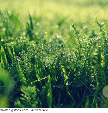 Beautiful Nature Background With Grass And Morning Dew. Sunbeams Of The Morning Sun With Water Drops