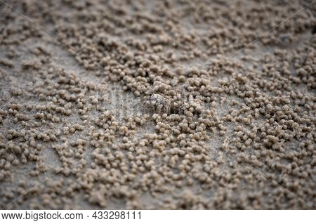 Sand Bubbler Crab With Wet Balls Of Sand. These Small Crabs Feed By Filtering Sand Through Their Mou