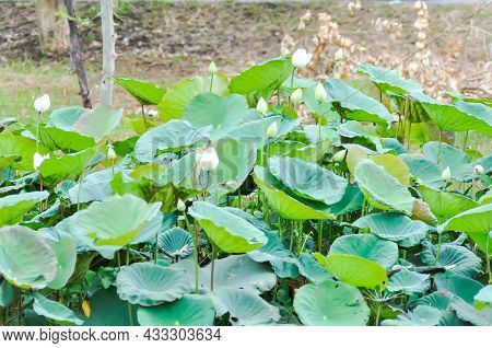 Lotus Or White Lotus In The Pond, Indian Lotus In The River