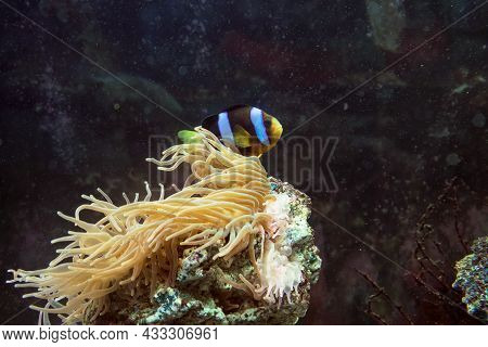 Symbiosis Of Amphiprion Clarkii  And Bubble-tip Anemone Anemone