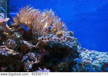 Undersea Creatures View Discosoma Bubble Corals And Anemones