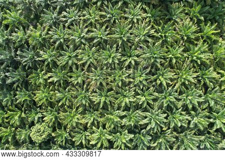 Nature Pattern Palm Oil Tree Plantation From Aerial View Nature Background