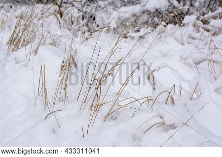 Nature In Winter. Dry Grass In Snow Drifts. Snow Drift And Dry Grass In Winter Forest At Snowfall.