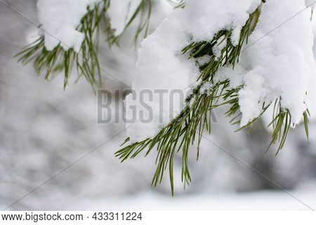 Pine Branch Under A Snowdrift. Snow On The Branch. Winter Postcard. White Snow On A Green Needle Of
