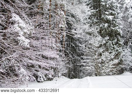 Fabulously Beautiful Winter Forest. Pines And Other Trees, First With Snow On The Branches.