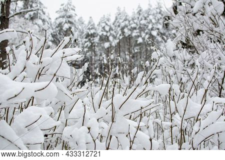 Snow On The Branches Of Bushes. In The Background There Is A Snowy Winter Forest. Selective Focus In