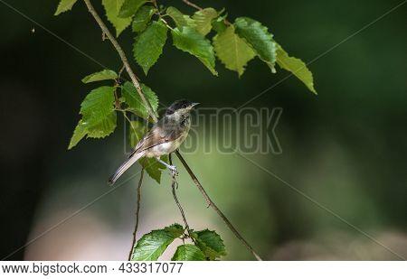 Marsh Tit(poecile Palustris) In Summer Against Dark Background, Podlaskie Voivodeship, Poland,europe