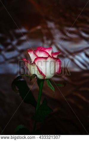 Beautiful Red And White Rose Against The Background Of Dark Stained Glass
