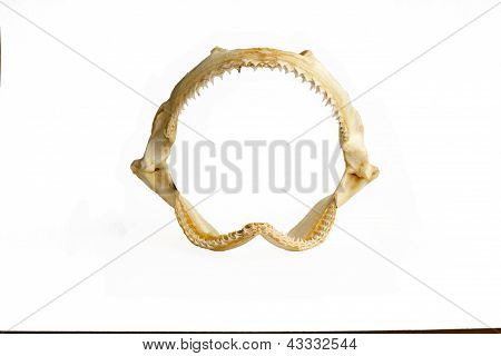 Shark jaw isolated on the white background poster