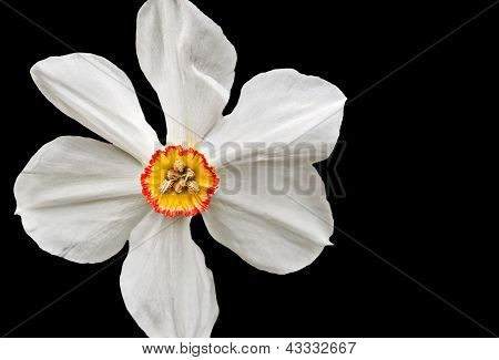 Closeup Of A White Daffodil On Black Background