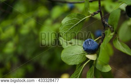 Small Wild Plums On A Branch Close Up. Dark Blue With Whitish Coating Plum And Green Leaves On Plum