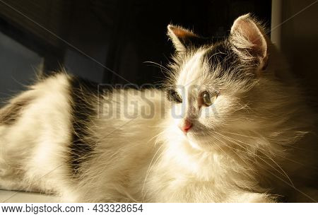 Domestic Black And White Cat Looks Towards The Window In The Warm Rays Of The Sun. White Tones. Sele
