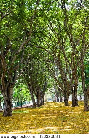 Selective Focus On Rows Of Lush Green Trees With Fresh Leaves Lined Up Forming A Canopy In Lalbagh B