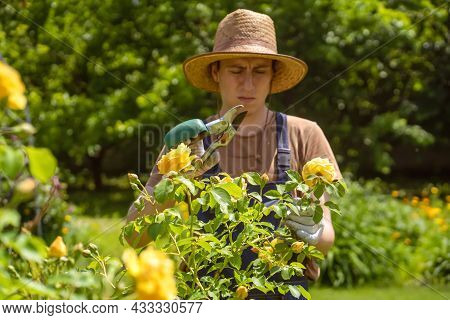 A Young Man With Hands In Gloves Is Trimming Bushes Of Roses In His Garden With A Secateur. A Profes