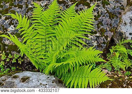 Tropical Plant Green Fern Common To Damp Land