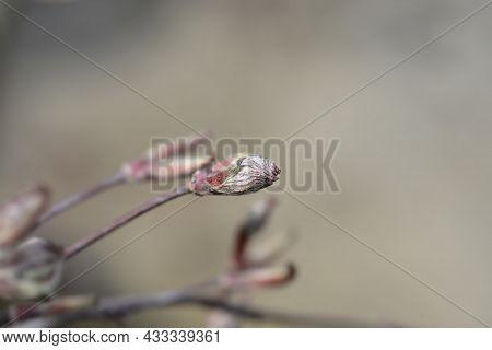 Japanese Maple Garnet New Leaves - Latin Name - Acer Palmatum Garnet