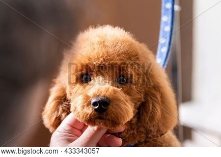 Grooming Little Poodle In A Hair Salon For Dogs. Professional Cares For A Dog In A Specialized Salon