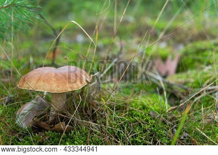 A Pine Forest, A Moss-covered Ground With Needles On It. A Mushroom, A Boletus Grows On The Substrat