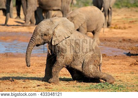 A cute baby African elephant (Loxodonta africana) playing, Addo Elephant National Park, South Africa