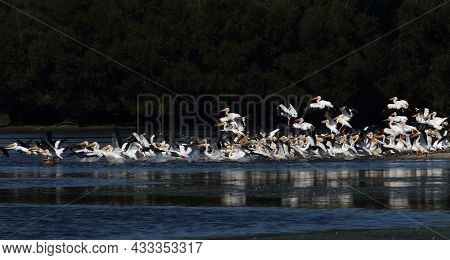 A Pod Of White Pelicans Take Flight When They Are Startled.