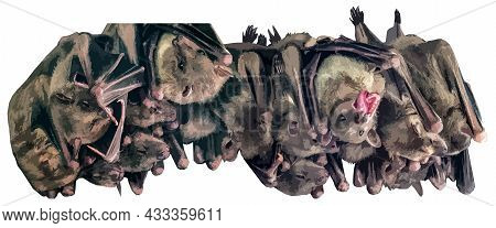 The Bats Hang Upside Down, Huddled Closely To Each Other. Two Bats Are Awake, The Rest Are Asleep. I