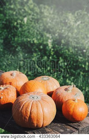 Autumn Harvest. Orange Pumpkins In Nature Background With Sunshine. Concept Of Thanksgiving Day Or H