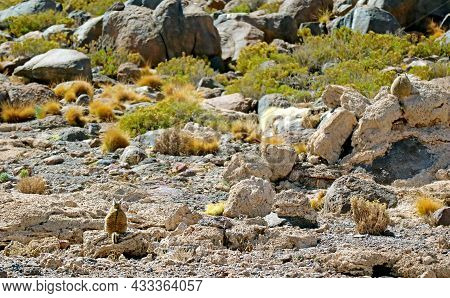 Back Of A Mountain Viscacha Sitting On The Rock In The Arid Desert Of Potosi Department, Bolivia, So