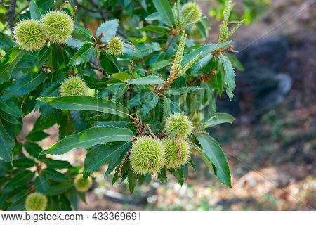 Chinese Chestnut Tree, branch with ripe fruits, harvest in the garden