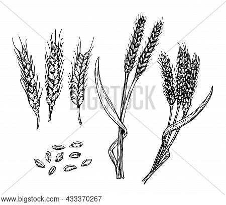 Wheat Ears, Grain Set. Hand Drawn Sketch Set. Cereals Sketch Decorative Icons Set Isolated Vector Il
