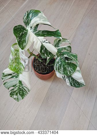 Monstera Albo Borsigiana Or Variegated Monstera, Full Plant In A Planter On A Wooden Floor. Rare And
