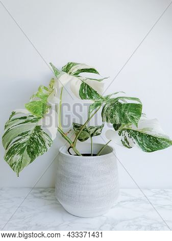 Monstera Albo Borsigiana Or Variegated Monstera, Full Plant In A Planter Against A White Background.