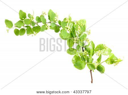 Young Green Branch With Leaf And Flowers