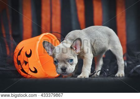 Cute French Bulldog Dog Puppy With Spooky Halloween Trick Or Treat Basket In Front Of Black And Oran